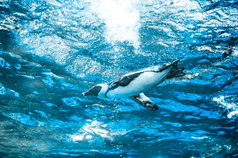ハイライトのひとつと言えるペンギン水槽。すぐ頭上を飛んでいるような写真が撮れます。晴れていれば光の具合も良いです。