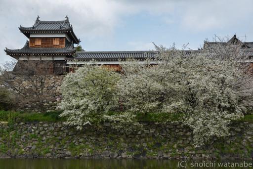 左側のシダレ桜はもう散っていましたので、今日は右側を。