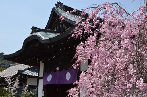 入口部分のしだれ桜がきれいでした。
