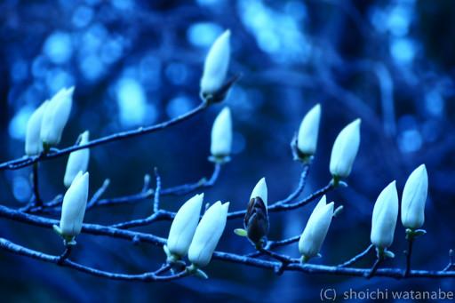 この日のまとめ 木蓮をホワイトバランス電球で撮影して、少しミステリアスな印象に