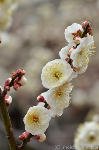 たっぷり花がついていて撮りやすい梅でした。