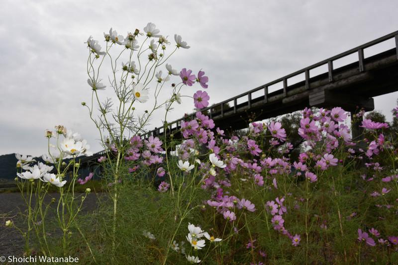 蓬莱橋 × コスモス。 こんな感じです。トーマス効果か、いつもより人がだいぶ多かったです。