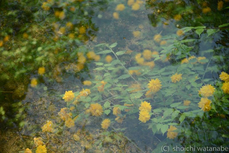 多重露光で遊んでいます。水の中に山吹が咲いているような不思議な写真に!
