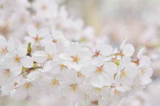 尼崎駅前はちらほら桜が開いてきておりました。
