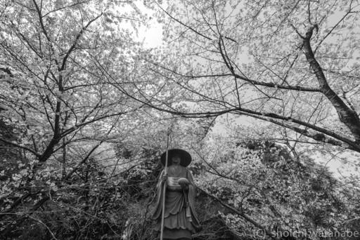 空海さんの頭上にたくさん桜が広がっていました。