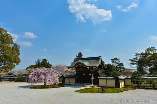門前にある立派なシダレ桜です。