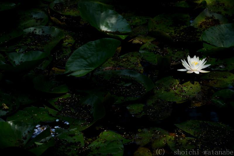 光のあたったスイレンと葉の間には目で見ている以上の露出差があります。