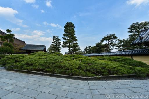 大覚寺の入口。びっくりするくらい大きな松がありました。