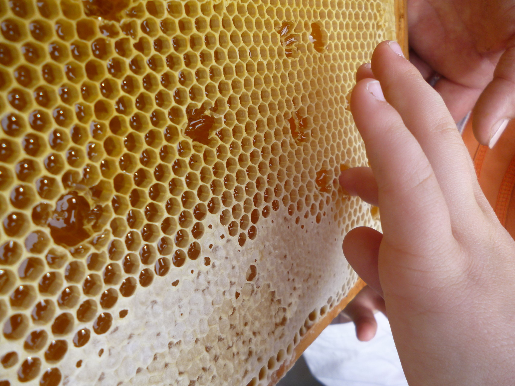 Erste Honigprobe ... die Bienen reparieren den Schaden schnell wieder