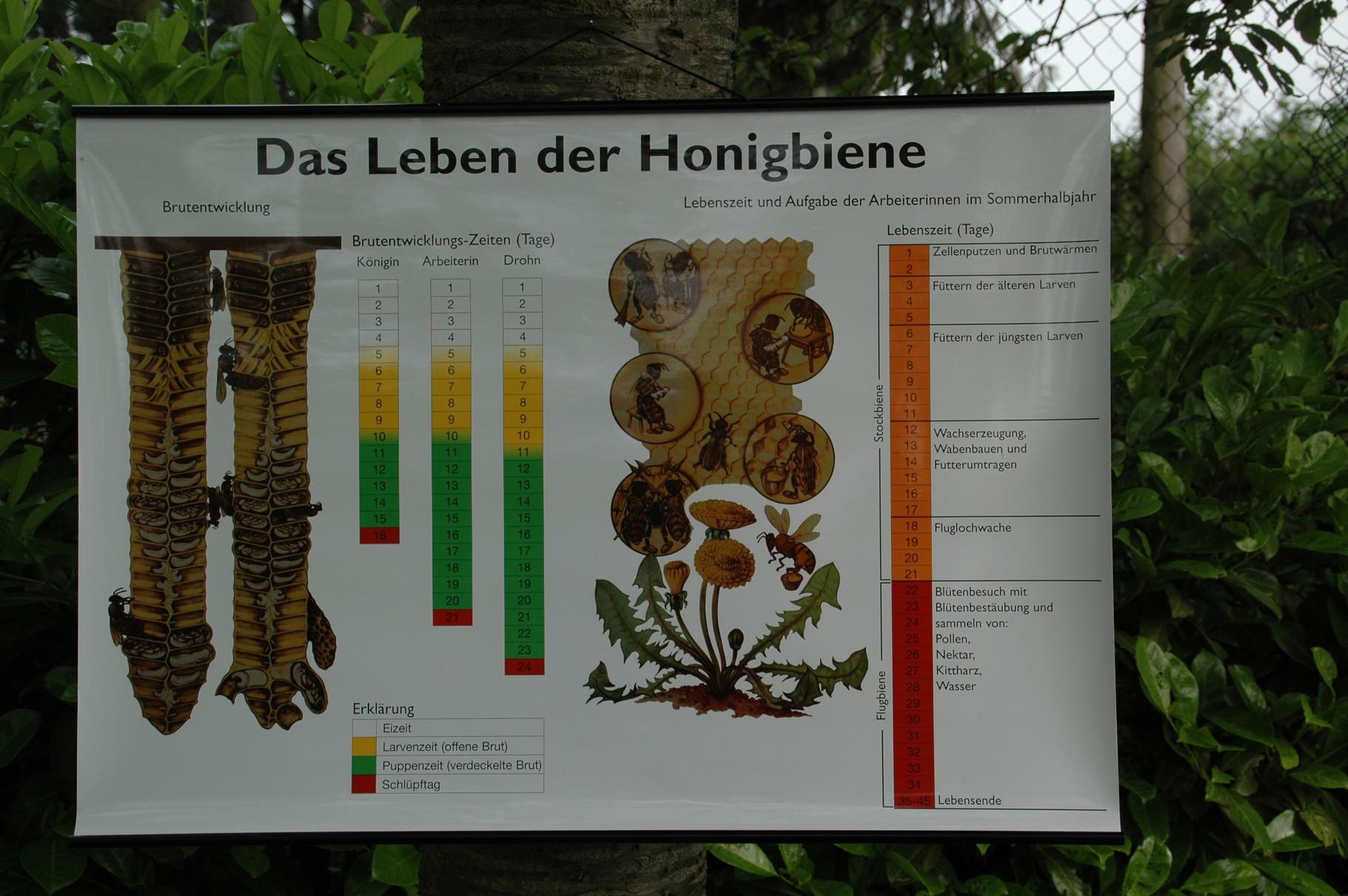 Das Leben der Honigbiene anschaulich am Baum erklärt