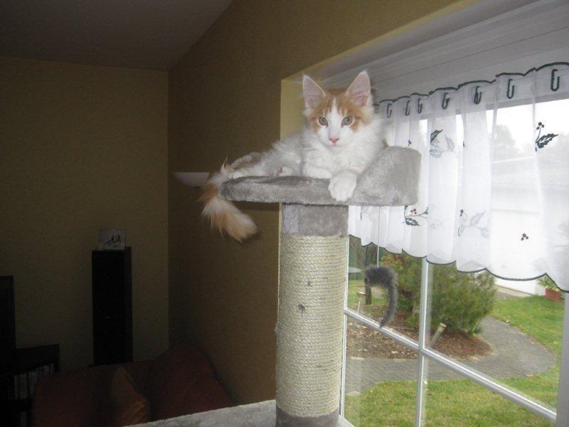 Cosimo auf seinem Kratzbaum