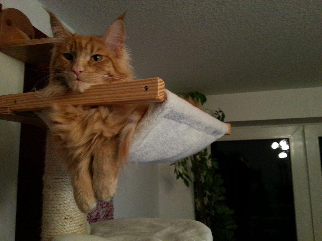 Billy the cat auf seinem Kratzbaum