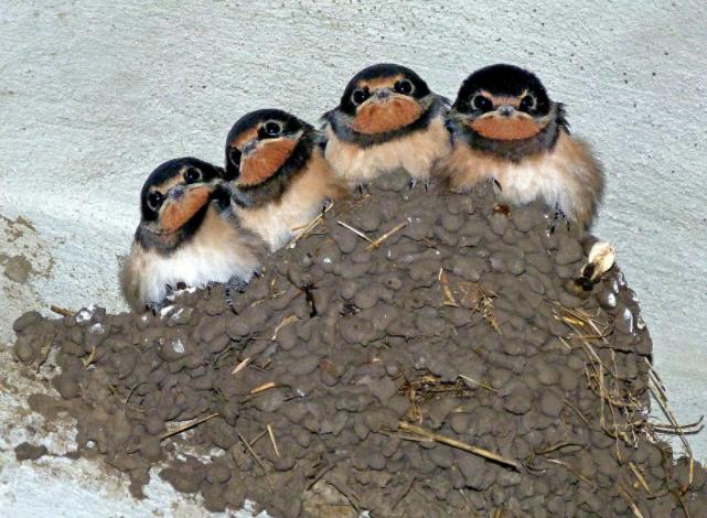 ツバメの巣( *´艸`)