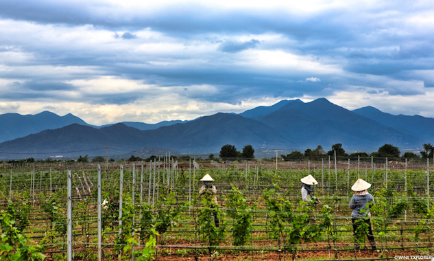 Wine production in Vietnam