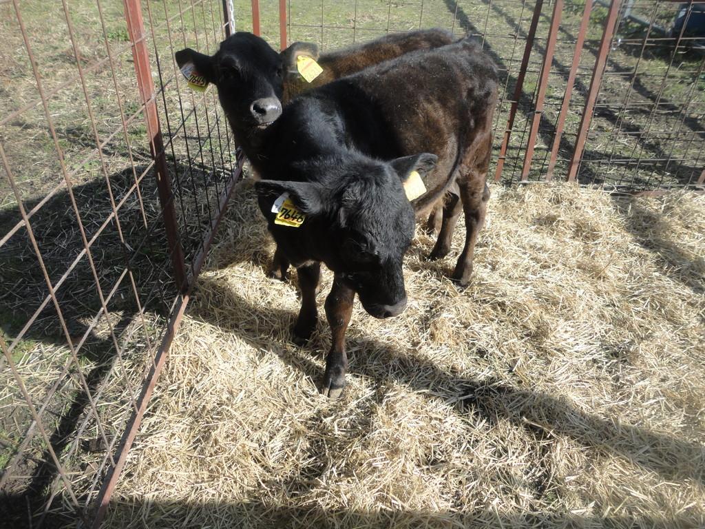 子牛とは言っても体重は120キロもあるそうです