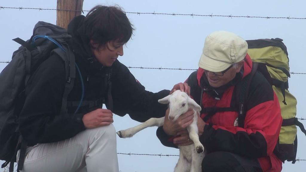 Un agneau égaré sur les crêtes du Pays Basque