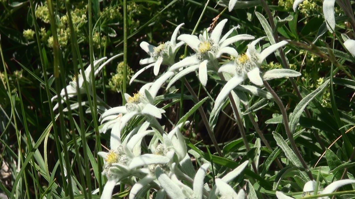 Avec des parterres d'edelweiss