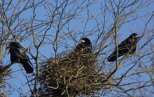 Saatkrähen vor ihrem Nest - Ortsteil Bronnen
