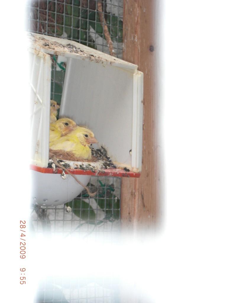 Kanarien -Jungvögel