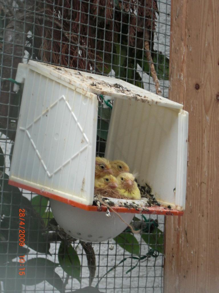 Kanarien - Jungvögel ca. 14 Tage alt