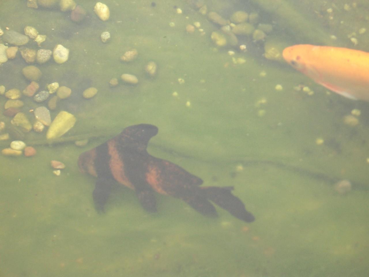 Meine Wimpelkarpfen (Fledermausfisch)