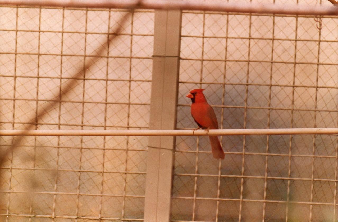 Roter Kardinal  Heimat: Nordamerika
