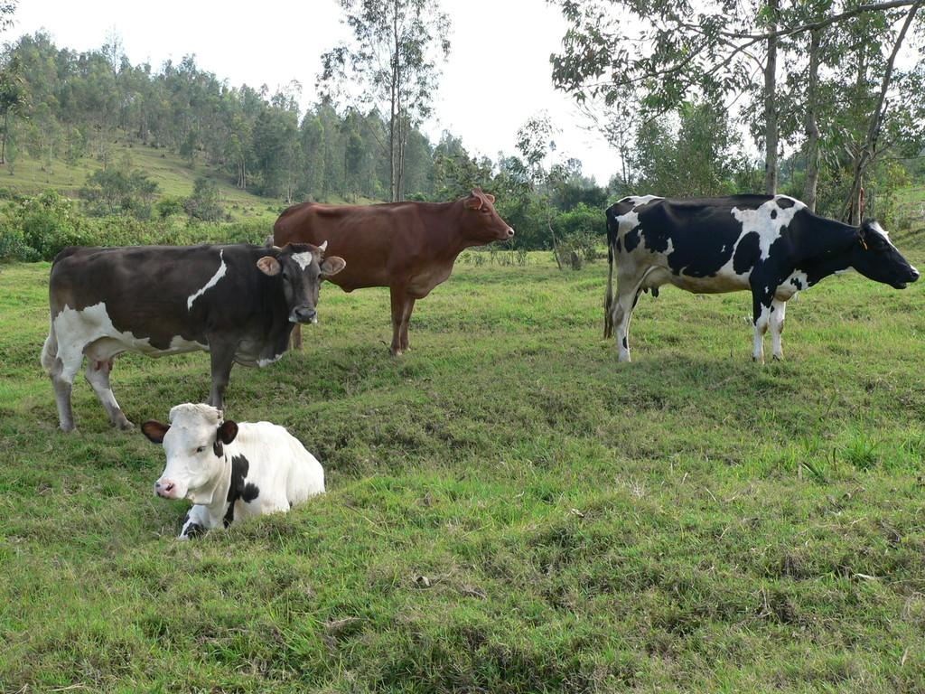 Die kleine projekteigene Milchviehherde