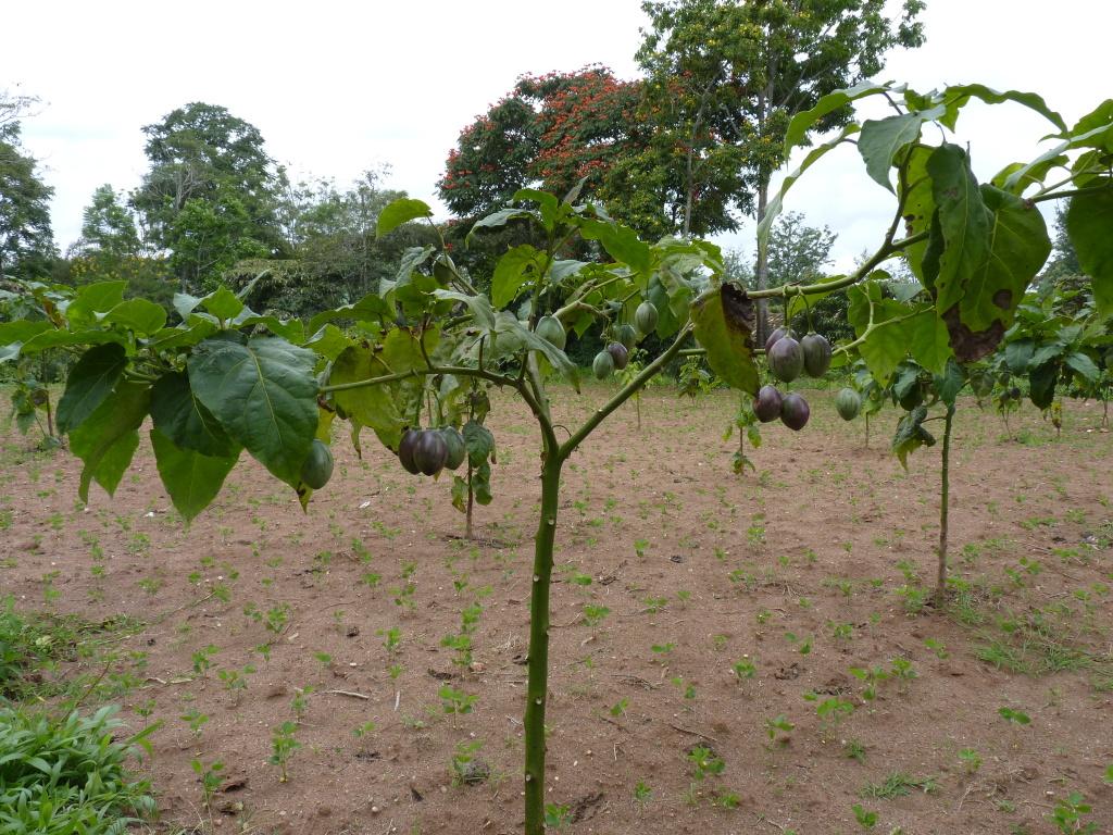 Baumtomate mit Früchten
