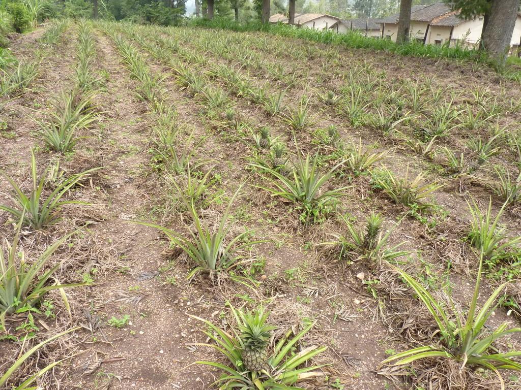 Ananaspflanzung