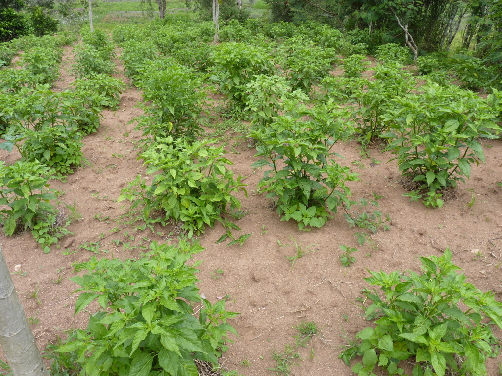 Pili-Pilipflanzung, 4 Monate alt