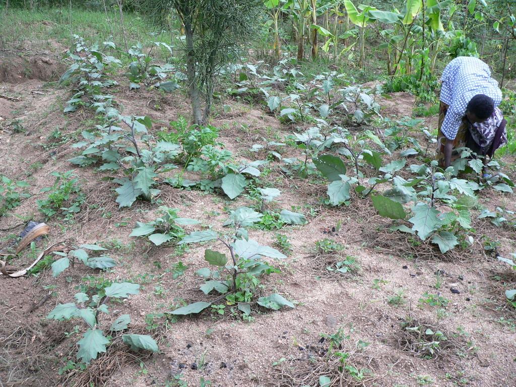 Gemüseanbau beim Bauern (Auberginen)