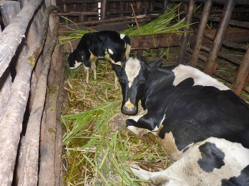 Ein Neuzugang im Kuhstall