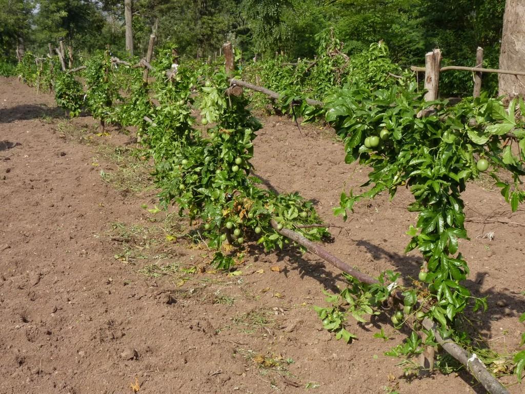Maracujapflanzung