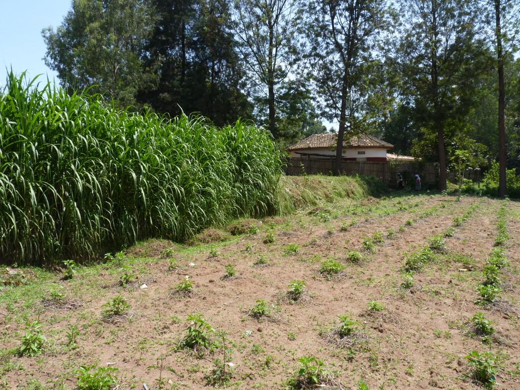 Pili Pili + Futterpflanzen als Erosionsschutz