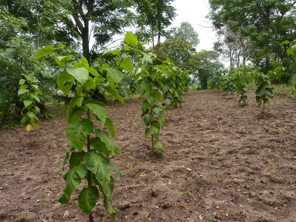 Baumtomatenpflanzung