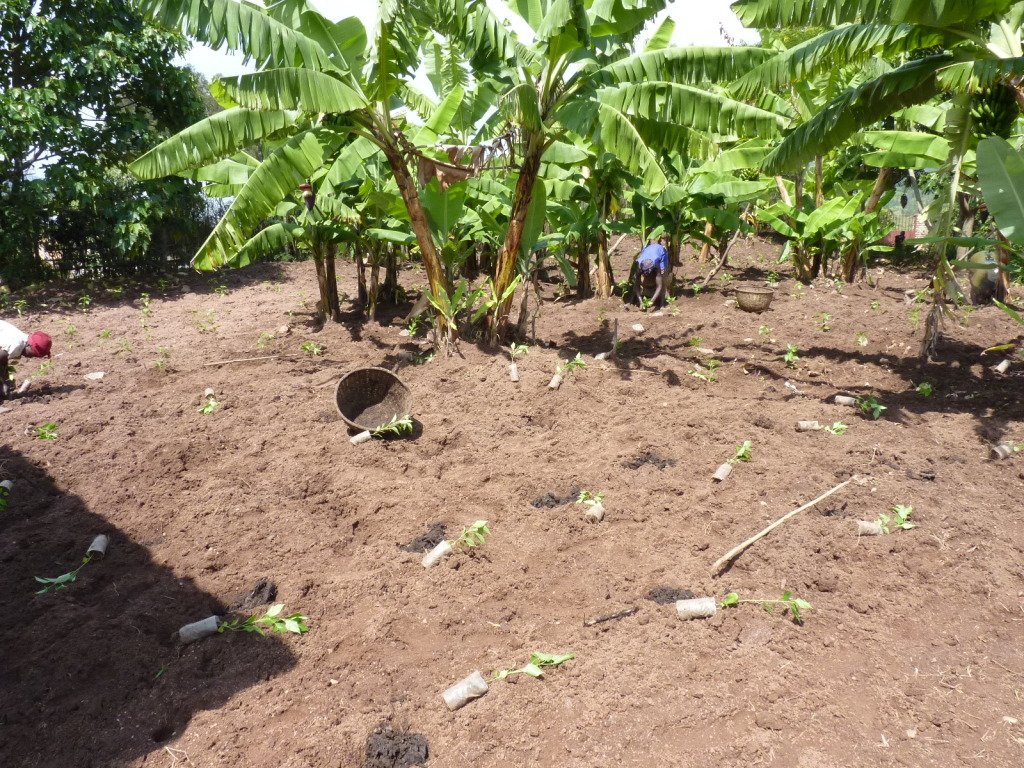 Pili-Pili, Neuanpflanzung