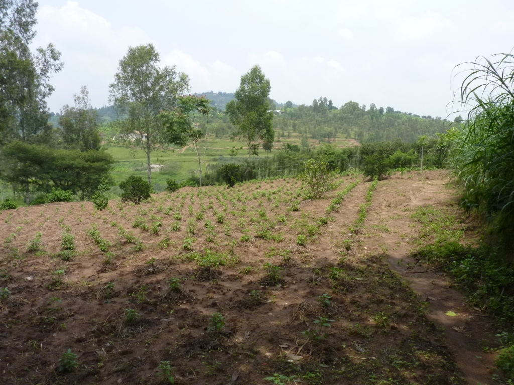 Pili Pili, 2 Monate nach der Pflanzung