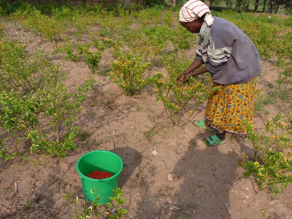 Pili Pili, die erste Ernte nach ca.7 Monaten