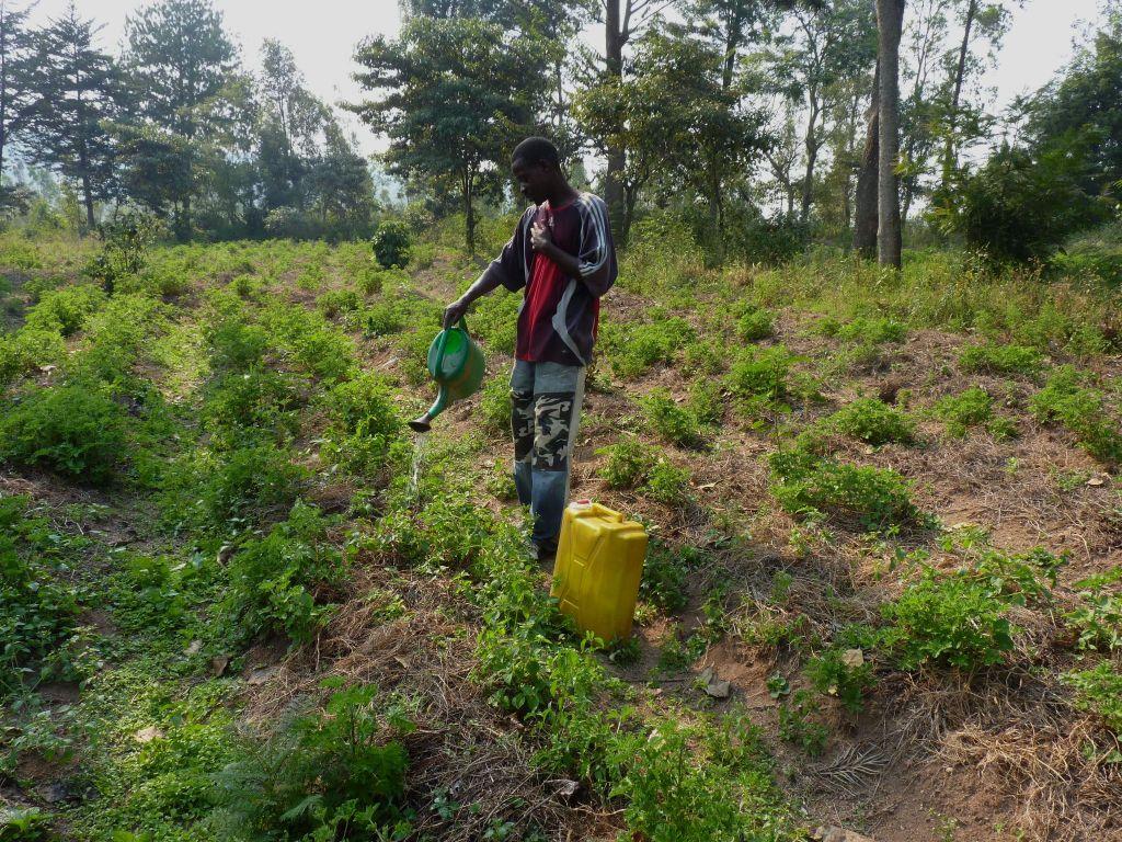 Duftgeranien, Bewässerung i.d.Trockenzeit