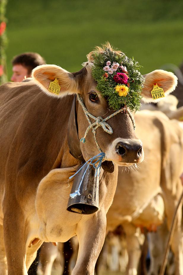 foto-aldente.net - Mosnang - Viehschau - Fotografie - Tierfotografie