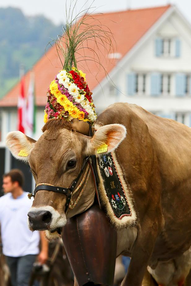 foto-aldente.net - Wolfhalden  - Viehschau - Fotografie - Tierfotografie