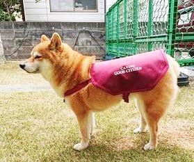 栗原 マリン(柴犬)【新規】