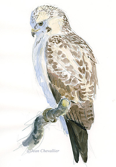 buse variable b buteo aquarelle Jean Chevallier
