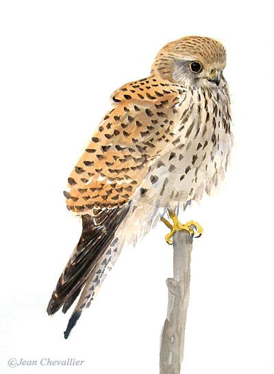 Crécerelle (falco tinunculus) aquarelle Jean Chevallier
