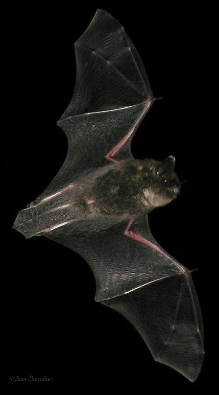 Myotis mystacinus, photo Jean Chevallier 2015