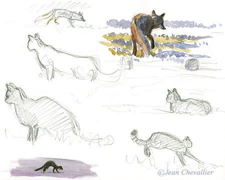 renard chat et martre