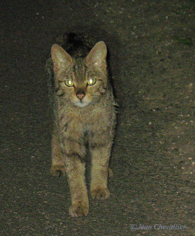 chat sauvage ou chat forestier Felis sylvestris