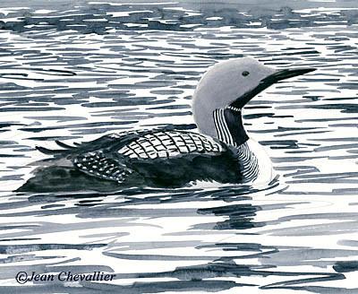 Plongeon arctique  Gavia arctica
