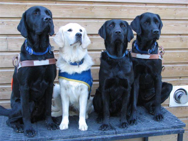 3 labradors noirs et un labradors blanc assis sur une grille.