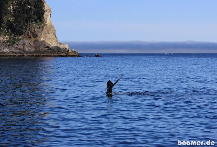 Buckelwal beim abtauchen